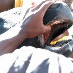 Rinderzucht Afrika