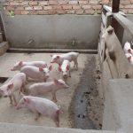 pig boxes uganda