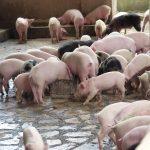 pigs uganda
